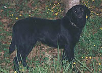 Merganser's Black Olive (Merganser's Classic Rip-N-Tear MH X Merganser's Little Liza Jane) is owned by  (20kb)